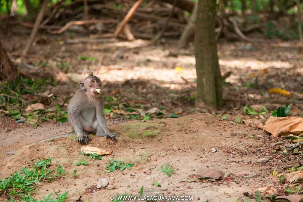 Little monkey in Monkey Forest, Ubud